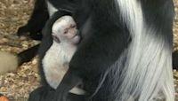 Prague Zoo welcomes new baby Mantled Guereza monkey