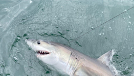 Baby sharks, Broadway's back, rice filtration: News from around our 50 states