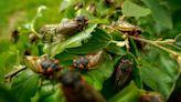Swarm of cicadas invades White House press plane and delays flight for hours