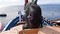 Human sized fish caught off Spanish coast