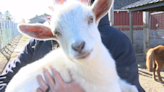 Lincoln High School adds a goat to its roster