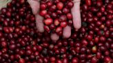 Frosts stain Brazil coffee belt, growers see nearly a third of fields hit