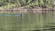Giant River Otter Believed Locally Extinct Resurfaces in Argentina