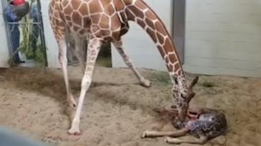 Giraffe Gives Birth in Colorado's Cheyenne Mountain Zoo