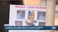 Camera captures men throwing rocks at, punching corralled horses