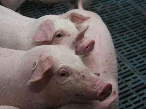 大陸|養豬業遭遇最慘週期 - 工商時報