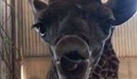 Phoenix Zoo Announces Birth of Baby Giraffe With Tongue-Tied Introduction