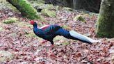 阿里山遊樂區爭領域 帝雉打不過藍腹鷴落跑
