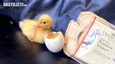 英女實測孵化超市鴨蛋 一個月後成功孵出一隻鴨仔 | Plastic