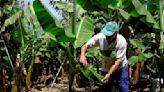 Farmers Despair as Volcano Ravages La Palma's Banana Crop