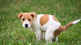 """Consider These Home Remedies When Pups Get """"The Runs"""""""