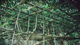 中秋連假竹市私房景點:茄苳看水稻田、百年玉蘭花