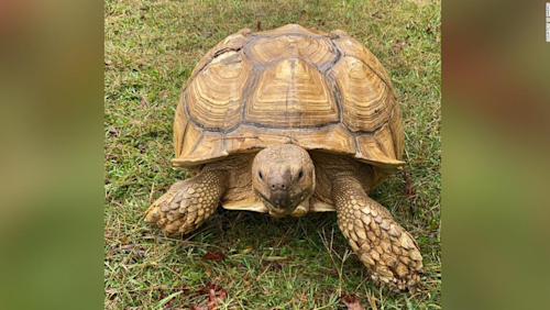 A 200-pound tortoise named Sparkplug broke out of his enclosure and wound up 30 miles away from his Alabama home