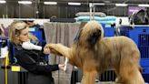 25 behind-the-scenes photos show the over-the-top grooming routines at the Westminster Dog Show