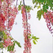 二水花旗木