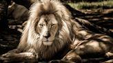 肯尼亞野生動物保護區中最年長的獅子