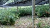 Pungitopo, prezzi alle stelle: ladri all'assalto delle coltivazioni - La Nazione