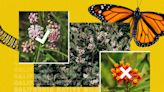 Monarch butterfly fans are clamoring for native milkweed. Here are 8 places to buy it
