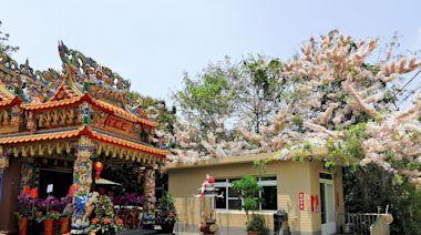 影/嘉義市圓林仔桐花季開跑 周邊還有花旗木、藍花楹