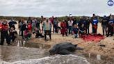 「世界最巨海龜」受困河流!獲救野放大海 感人影片曝光