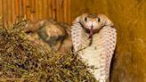 18隻劇毒眼鏡蛇潛伏在自家廁所! 屋主打開門嚇壞