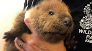 Two Orphaned Beavers Rescued In Canada