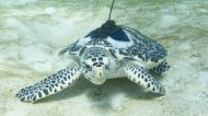 Hawksbill Turtles Raised by Researchers Experience Ocean for First Time