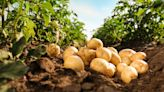 Mexican Supreme Court ruling opens the door to Colorado potatoes