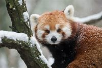 Facts About Red Pandas - Live Science