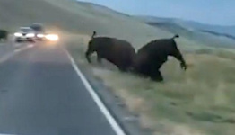 Bison Charges And Hurls Another Bison In Yellowstone Showdown