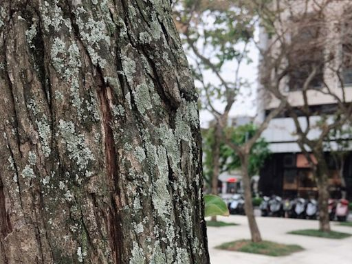 遭「介殼蟲攻擊」!北捷線形公園12株樟樹「滿佈白點」緊急噴藥