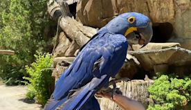 Rio the Hyacinth Macaw, a Cincinnati Zoo Home Safari video | The Kid Should See This