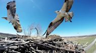 Camera in fish eagle nest documents amazing activities over weeks