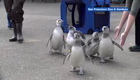 VIDEO: Penguins at San Francisco Zoo graduate from 'fish school' in socially distanced celebration