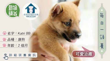 香港領養動物|2個月唐狗Katri BB精靈活潑 適合新手家庭領養 | 蘋果日報