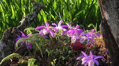 阿里山一葉蘭盛開賞花注意 自然保留區仍暫停開放