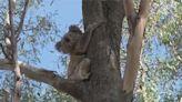 影/無尾熊3年來銳減3成!澳洲政府擬升「瀕危物種」