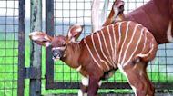 Polish zoo welcomes second bongo antelope this year