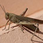 Locust by Flickr user Swivelonit