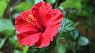 Summer-Blooming Hibiscus Has Enormous, Vibrant Blossoms