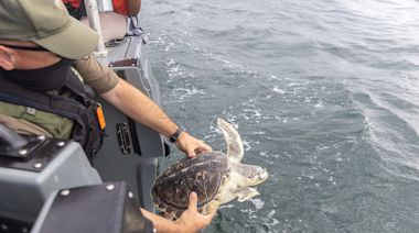 3 Sea Turtles Make a Happy Return to the Ocean After Rehab at Baltimore's National Aquarium