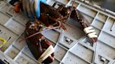 Maine Lobsters Accused of Starting Covid-19 Pandemic, Mainers Pissed