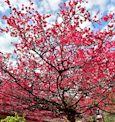 霧台櫻花季