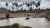 Elephant Herd Splashes in Pool at Arizona Zoo