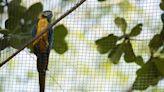 里約熱內盧僅存野生金剛鸚鵡 20年來每日飛到動物園「找真愛」