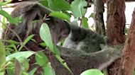 Australia may list east coast koalas as endangered