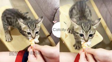 超萌貓「本性顯露」搶蝦子,飛機耳低鳴好憤怒 網笑:蝦子是我的! | CatCity 貓奴日常