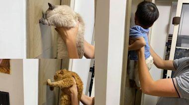 貓智力測驗全通關 2歲兒「軟爛貼牆」笑噴媽:最蠢果然是親生