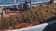 Spain: Seaweed invasion hurting fishermen's livelihoods