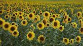 研究新發現 原來新西蘭很適合種向日葵